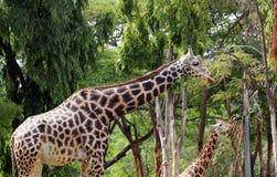 Adulto agraciado y apacible y jirafa joven Foto de archivo