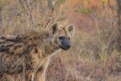 Adulto alerta 3 de la hiena Imagenes de archivo