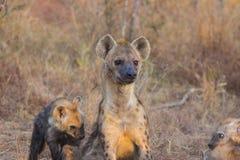 Adulto alerta 6 de la hiena Foto de archivo libre de regalías