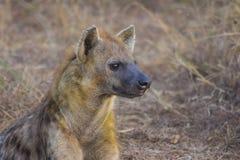 Adulto alerta 2 de la hiena Fotos de archivo libres de regalías