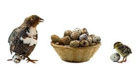 Adulto, bebé y huevos de codornices en la cesta aislada en blanco Foto de archivo