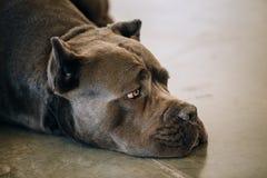 Adulto Cane Corso Close Up Portrait di Brown fotografia stock libera da diritti