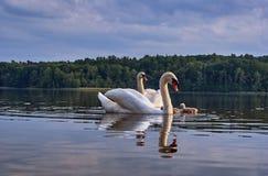 Adulto con los cisnes jovenes que flotan en el lago Imagen de archivo