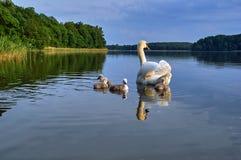 Adulto con los cisnes jovenes que flotan en el lago Imagenes de archivo