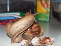 Adulto de Achatina del caracol Imagenes de archivo