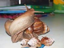 Adulto de Achatina del caracol Imágenes de archivo libres de regalías
