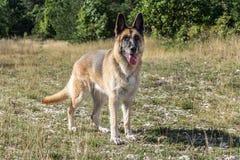 Adulto de Dog del pastor alemán Fotografía de archivo