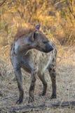 Adulto de la hiena en el 1 salvaje Imagen de archivo libre de regalías