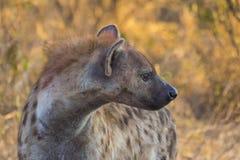 Adulto de la hiena en los 2 salvajes Imagen de archivo libre de regalías