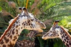 Adulto de la jirafa y Headshot juvenil Foto de archivo