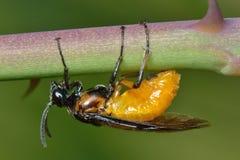 Adulto de la mosca de sierra de Rose (ochropus de Arge) Imagen de archivo libre de regalías