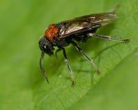 Adulto de la mosca de sierra del aliso (ovata de Eriocampa) Fotos de archivo