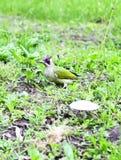 Adulto de la pulsación de corriente verde - viridis del Picus Imagen de archivo
