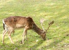 Adulto de los ciervos Imagenes de archivo