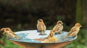 Adulto de los pájaros nadada-otros en borde Foto de archivo