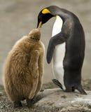 Adulto de rey pingüino que introduce el polluelo suave Imagen de archivo