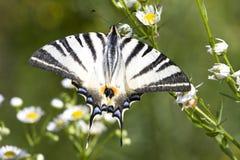 Adulto de Swallowtail escaso (podalirius de Iphiclides Foto de archivo libre de regalías