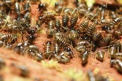 Adulto de termitas Imagenes de archivo