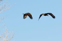 Adulto del águila calva y el volar juvenil junto Foto de archivo