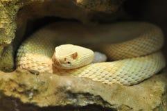 Adulto del albino Imagenes de archivo