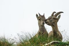 Adulto del cabra montés y pequeño cabra montés Fotos de archivo libres de regalías