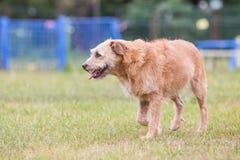Adulto del cane di grifone fotografie stock