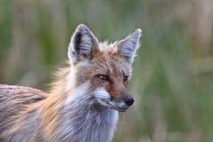 Adulto del Fox rojo en la isla de Hecla Fotografía de archivo libre de regalías
