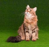 Adulto del gato Imagenes de archivo