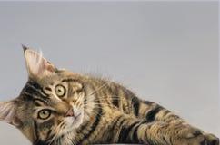 Adulto del gato de Maine Coon Fotos de archivo