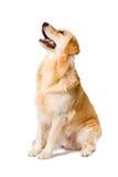 Adulto del golden retriever que se sienta mirando para arriba vista lateral encendido Fotografía de archivo libre de regalías