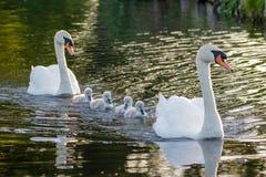 Adulto del olor del Cygnus del cisne mudo y pollos del cisne mullidos lindos del bebé Fotografía de archivo libre de regalías