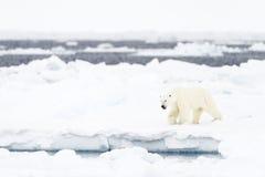 Adulto del oso polar (maritimus del Ursus) Fotografía de archivo libre de regalías
