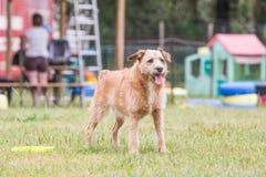 Adulto del perro de Griffon foto de archivo libre de regalías