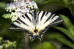Adulto del podalirius escaso de Swallowtail /Iphiclides Imágenes de archivo libres de regalías