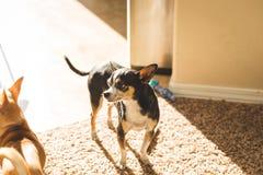 Adulto della chihuahua che sta al sole nel salone Fotografie Stock Libere da Diritti