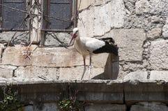 Adulto della cicogna bianca, ciconia di Ciconia fotografie stock libere da diritti