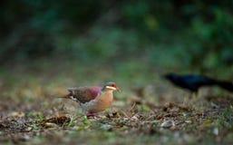 Adulto della Quaglia-colomba di Key West (chrysia di Geotrygon), stante sul pavimento della foresta Fotografie Stock