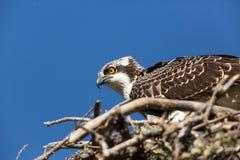 Adulto desafiante de Osprey imagenes de archivo