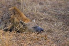 Adulto durmiente de la hiena en los 2 salvajes Fotografía de archivo