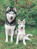 Adulto e cucciolo del husky Immagine Stock