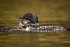 Adulto e mergulhão-do-norte comum juvenil que descansam na superfície de um lago imagem de stock royalty free