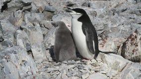Adulto e pintainho de um pinguim antártico que se sente em um ninho em uma colônia vídeos de arquivo