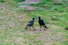 Adulto ed uccelli giovanili della gazza australiana Immagini Stock Libere da Diritti