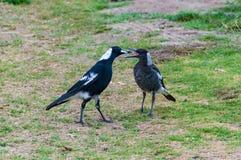 Adulto ed uccelli giovanili della gazza australiana Fotografia Stock