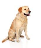Adulto hermoso del perro perdiguero de Labrador Imagen de archivo