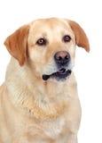 Adulto hermoso del perro perdiguero de Labrador Imagen de archivo libre de regalías