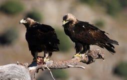 Adulto imperial del águila Imágenes de archivo libres de regalías