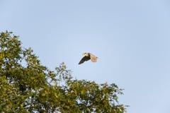 adulto Negro-coronado de la Noche-garza en vuelo Imagenes de archivo