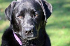 Adulto negro del labrador retriever Foto de archivo libre de regalías