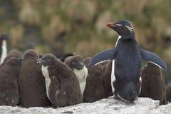 Adulto responsable - Falkland Islands Imagenes de archivo